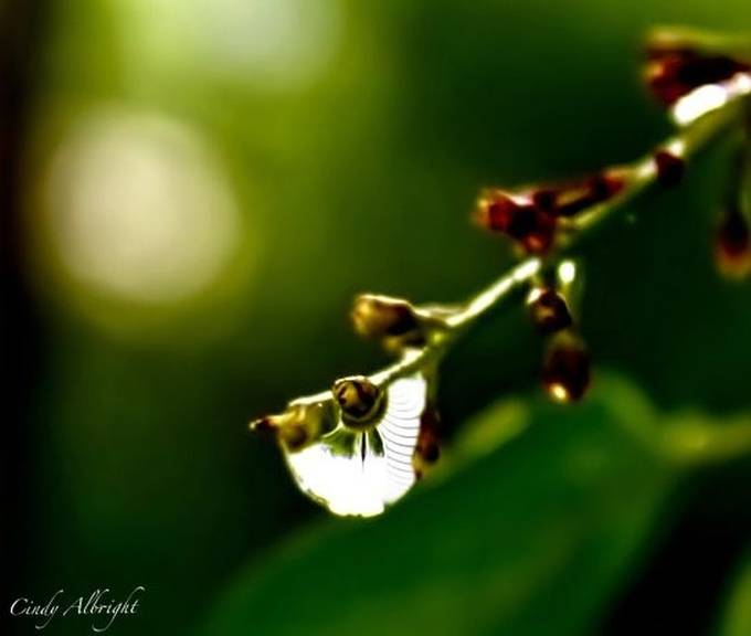 A lilac bud with a drop of rain ready to fall.