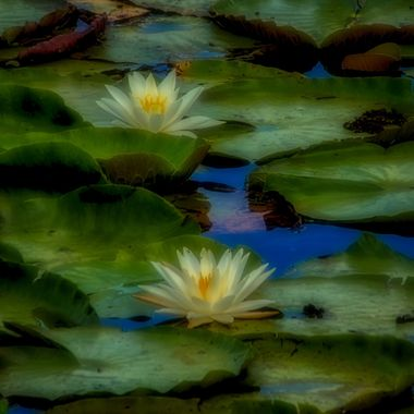 Lilies and Pads