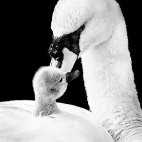 After a tip off about these new born swans I decided to go see these swans newly hatch cygnets. All the chicks were under the mothers wing, but t...