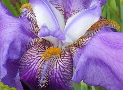 Iris - B