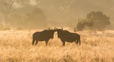 Wildebeest greeting!