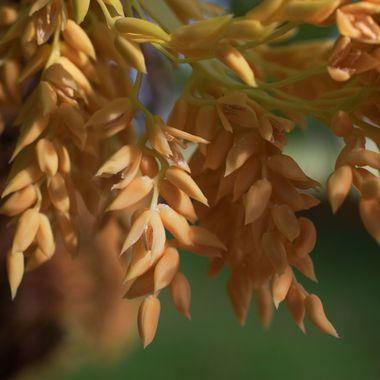 Rubellini Seeds