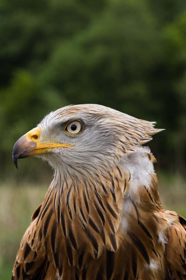 eagle portrait by Tommyshot - Image Of The Month Photo Contest Vol 22