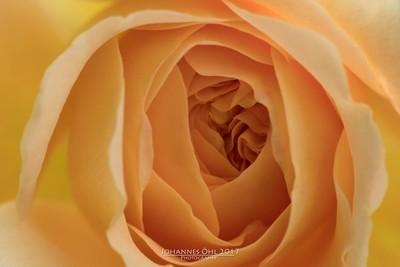 Petals of Rosa 'Charlotte'