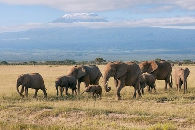 Elephants-at-Mt-Kilimanjaro