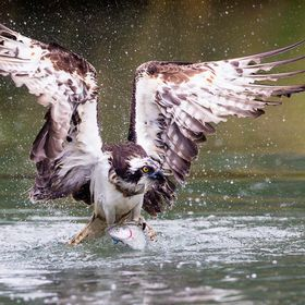 Osprey catching rainbow trout