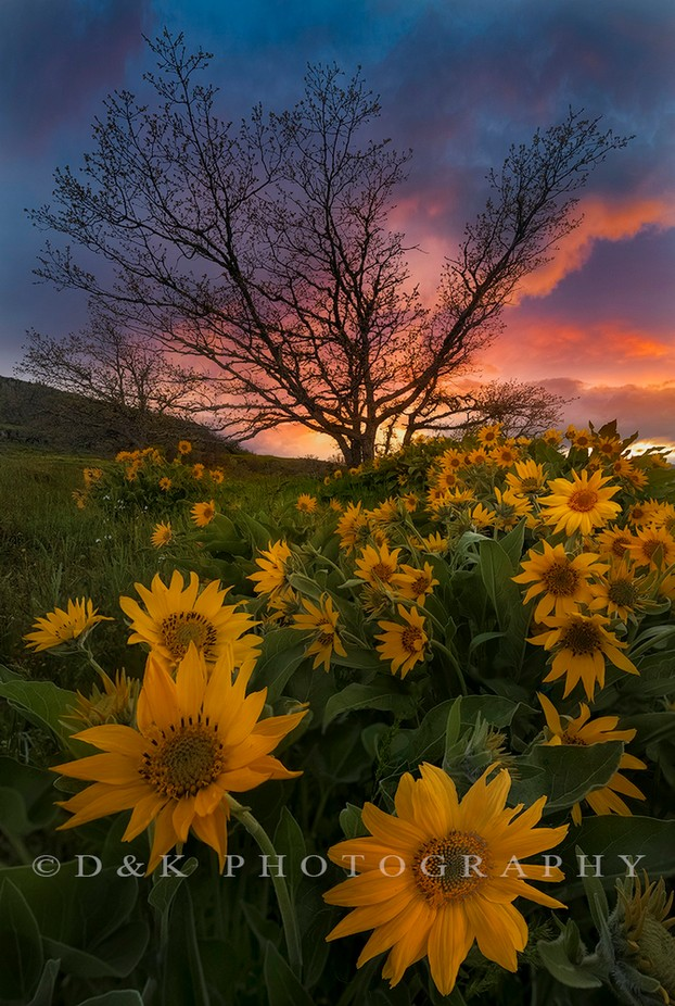 Balsamorhiza by deniskimdessoliers - Image Of The Month Photo Contest Vol 22