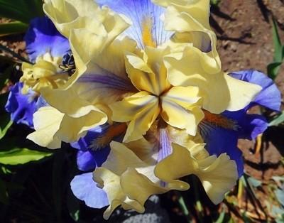 Iris  (cream-blue)