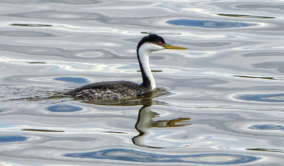 A Western grebe swimming in silver water