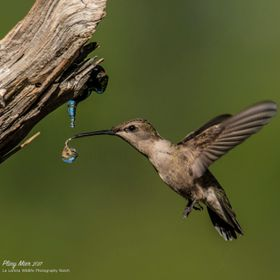 I got this image on 5/17/2017 at La Lomita Wildlife Photography Ranch of this Hummer taking a sip of water from a drip on a warm day.