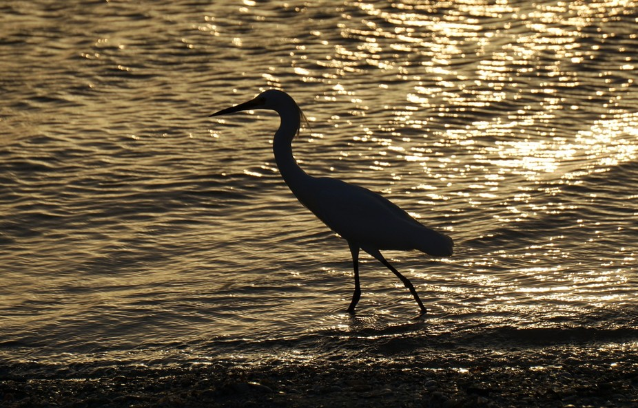 I love watching and photographing birds. I was so involved in taking pictures of the egrets I a...