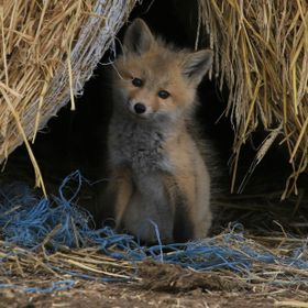 Found a little or red foxes on my farm - they are living in the bale stacks helping me with my rodents counts - there are 4 in the litter and thi...