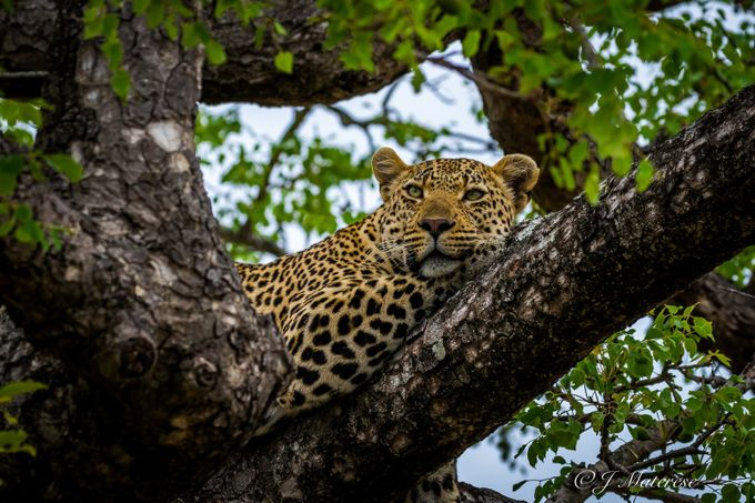 Resting Leopard