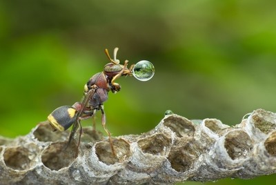 Wasp Blowing Water Bubble 170523