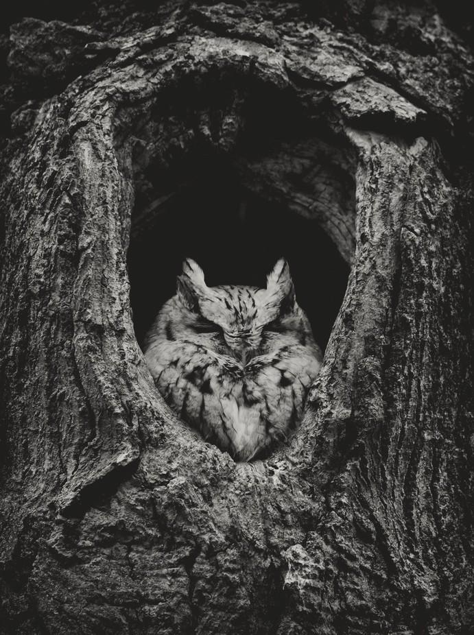 Acorn by josephrotford - Beautiful Owls Photo Contest