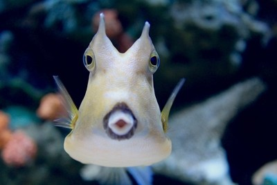 Meet Cisco, the Long-Horned Cowfish