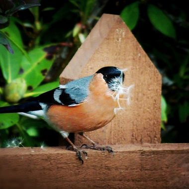 Studying this bullfinch in my fathers garden , watching antics of this bullfinch with dandelion seed heads !