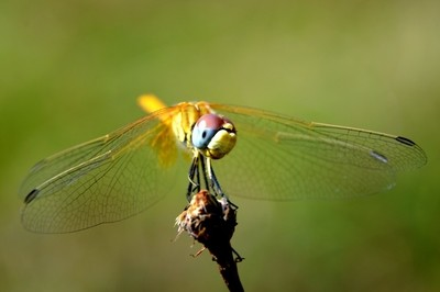 Yellow Dragonfly Capture