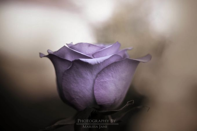 Moody Rose  by MarissaJane - Macro Games Photo Contest