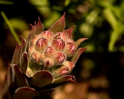 Hens and Chicks Opening 0628