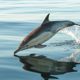 Dolphins are such beautiful and graceful animals, and seem to use so little effort when leaping from the water. It was really fortuitous getting ...