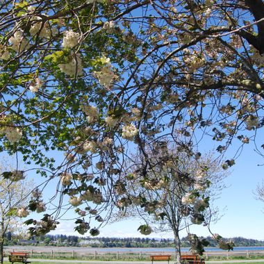 A boo through the blossoms at end of Parksville Park 6 May 2017