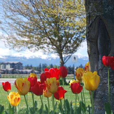 A bunch of Tulips Parksville Park 6 May 2017