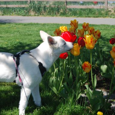 a little sniffing tulips ... Mowgli -  7 May 2017