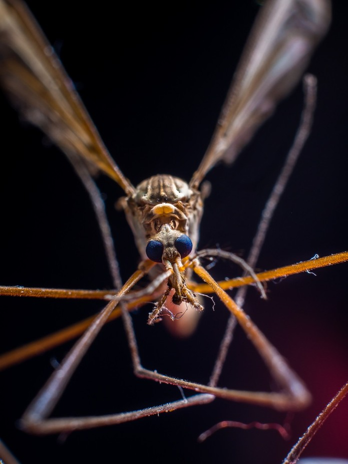 Daddy long legs- by Joeandkibo - Macro Games Photo Contest