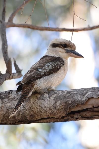 Kookaburra (Kingfisher)