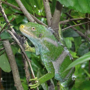 Fiji Crested Iguana (3)