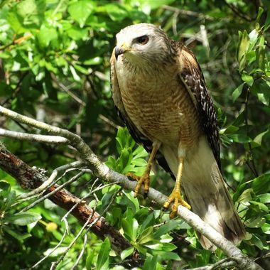 Naples Hawk 1