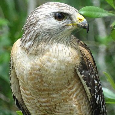 Naples Hawk (3)