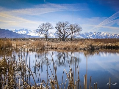 Dry trees in Owens Valley