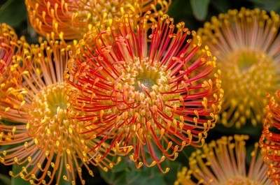 Orange Pin Cushion Flower