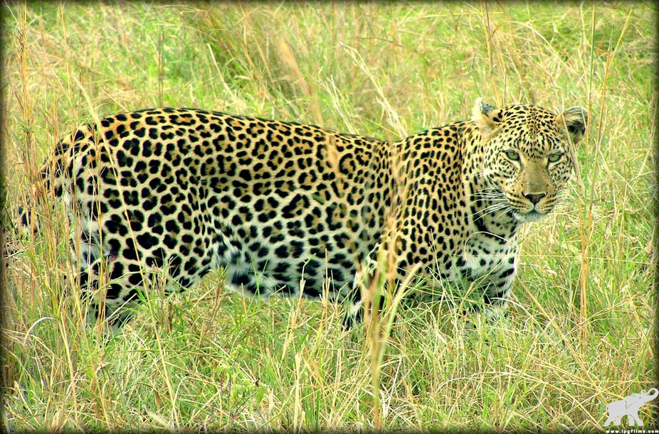 Leopard looking1_web_logo