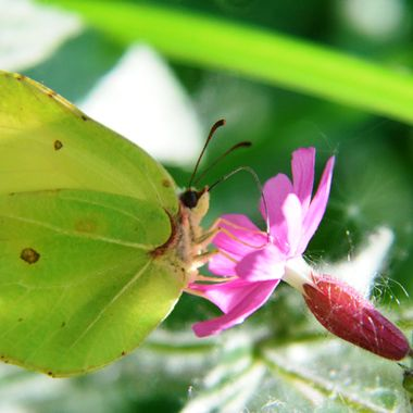 Brimstone Butterfly on Red Campion Flower.