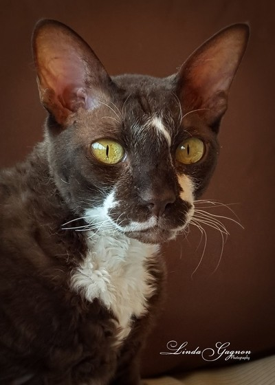 Kelly - Cornish Rex Cat