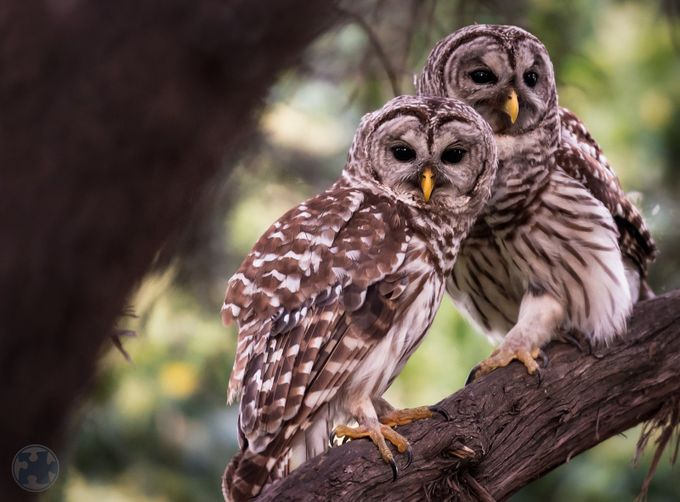 Owl Couple by ruebusch - Beautiful Owls Photo Contest