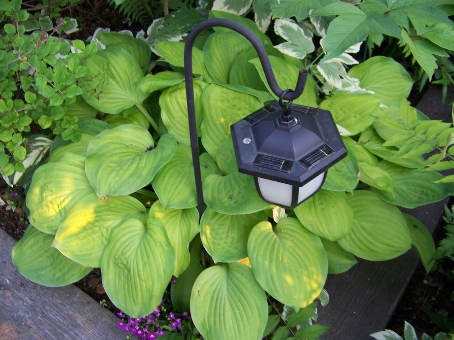 Beautiful hosta growing at the cottage.