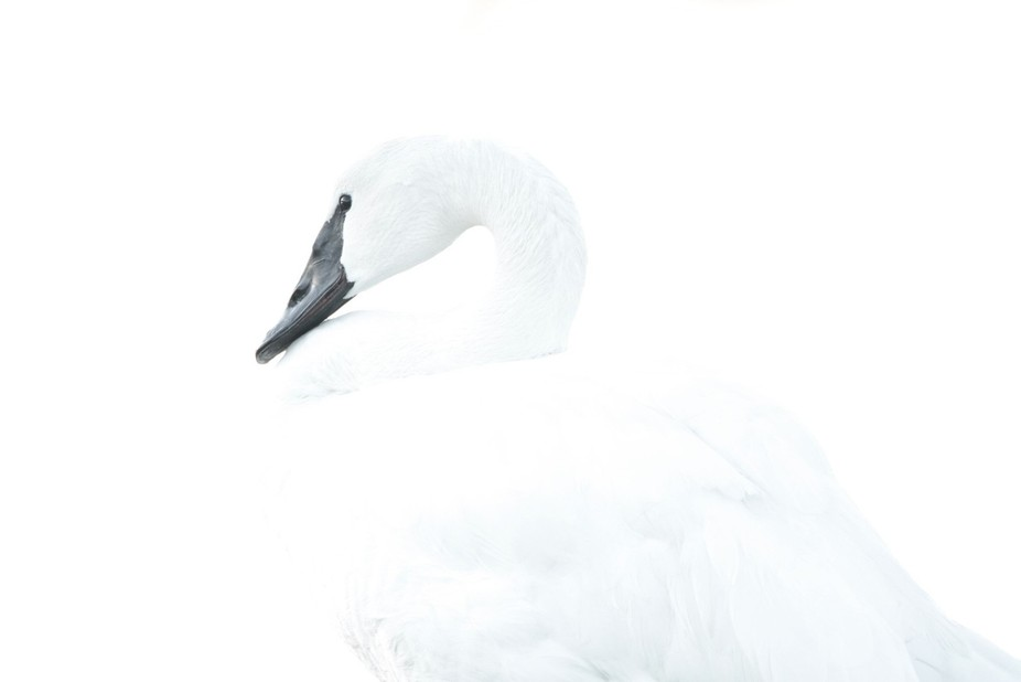 Experimental overexposed shot of swan preening after sunset