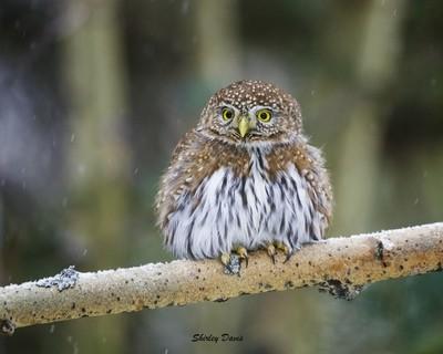 Northern Pygmy Owl.
