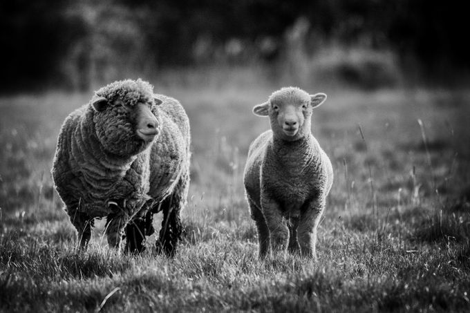 Sheep by paulwild - Farms And Barns Animals Photo Contest