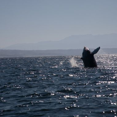 Captured this photo on a whale watching excursion in Puerto Vallarta, Mexico.  Normally shooting into the sun creates problems, but in this instance, it helped highlight the whale against the distant landscape.