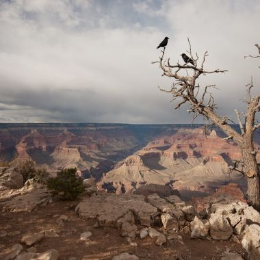 These crows were just hanging out on this seemingly dead tree on the edge of the Grand Canyon.