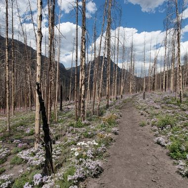 Back in 2012, a wildfire decimated a mature forest near the Double Cabin Campground north of Dubois, Wyoming.  This photo was taken the following year.  Amazing to see such beauty after such destruction.