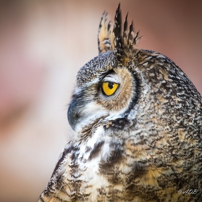 Great Horned Owl Headshot