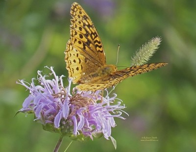 Harris Checkerspot Butterfly on Pink Bergamot wildflower  - Photo by Robson Smith