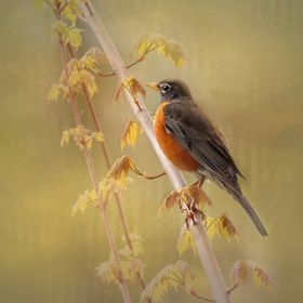 A beautiful robin perched on a branch in nice morning light!