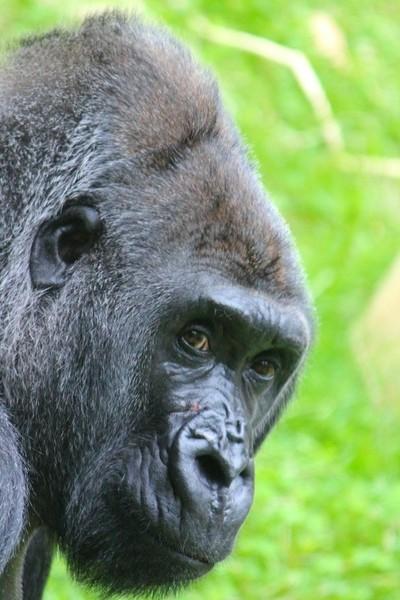 The Gorilla's gaze